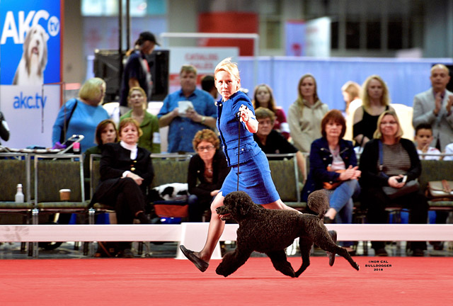 Gracie winning the breed at 2018 AKC Nationals